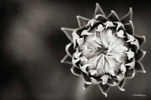 Desert Flower in Sepia